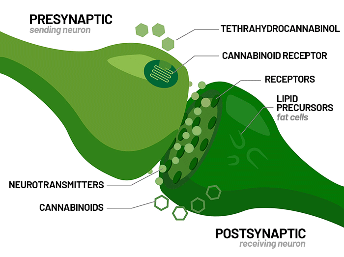 THC, CBD, And The Endocannabinoid System